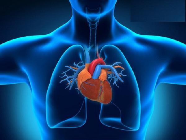 Vì sao tim hoạt động suốt đời mà không mệt mỏi?
